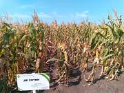 Продам семена кукурузы ДБ Хотин (фао 280) Синельниково