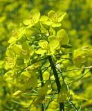 Насіння ярого ріпаку Сіріус (без ГМО) Киев