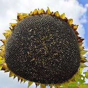 Насіння соняшнику гібрид ОСМАН під Євро-лайтнінг Киев
