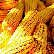 Насіння Кукурузи ВН 6763 (ФАО 320) Киев