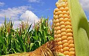 Насіння кукурудзи гібрид Гран 6 (ФАО 300) Киев