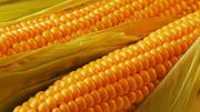 Семена кукурузы украинской селекции Харьков