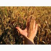 Просо насіння від виробника. Николаев