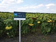 Семена подсолнечника цена. Одесса
