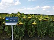 Семена подсолнечника Метеор КЛ. Цена Киев