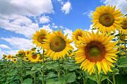 Семена подсолнуха (посевмат) по Низким Ценам Херсон