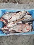 Речная рыба опт. Карась, густера, синец, плотва, лещ и др. Киев