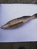 Свіжа риба оптом Україна Чернівці