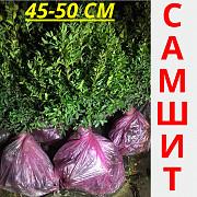 Самшит вечнозеленый 45-50 см Умань