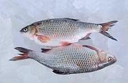 Свіжовиловлена риба оптом. Ікряна риба Тернополь