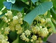 Прием лекарственных растений. Липа, бузина и др Лубны