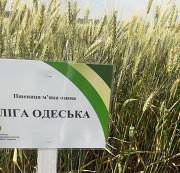 Семена пшеницы озимой: Богдана, Подолянка, Шестопаловка и др Днепр
