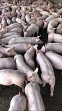 Поросята со свинокомплекса большими партиями Сумы