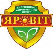 Озимая пшеница Оржица Элита Полтава