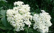 Куплю цвіт бузини Сумы