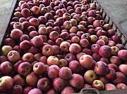 Куплю яблука оптом Полтава