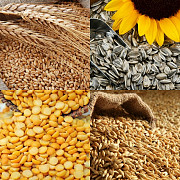 Куплю подсолнечник, пшеницу, ячмень, кукурузу Полтава