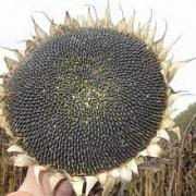 Насіння Соняшника Неймар (110 дн) гібрид стійкий до 7рас вовчку, під гранстар Киев