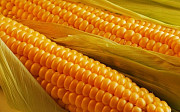Куплю кукурузу с места. Николаев