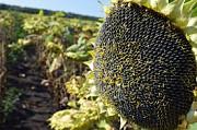 Семена подсолнечника Лиман ОР, устойчив к 7 рас заразихи от компании Лист Киев