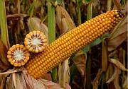 Насіння кукурудзи Тор (ФАО 280) Новинка от ВНІС Киев