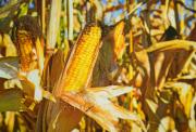 Семена кукурузы Гран 6 (ВНИС) Киев