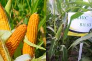 Насіння кукурудзи ВН 63 (Семена кукурузы ВН 63 (ФАО 280) ВНИС ) Киев
