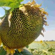 Посівний Соняшник Амато (SU 50г/га) ВНІС Киев