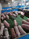 Свинокомплекс продає поросят оптом Полтава