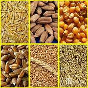 Куплю кукурузу, пшеницу всех классов, ячмень, рожь, овес. Зерноотходы. Чернигов
