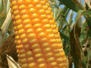 Куплю кукурузу дорого Херсон