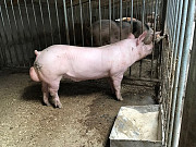 Племінний молодняк зі свинокомплексу Винница