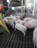 PIC, DanBred поросята купити зі свинокомплексу опт Киев