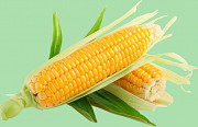 Кукуруза продать. Кукуруза куплю Запорожье