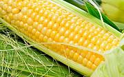 Кукуруза закупка. Куплю кукурузу. Запорожье