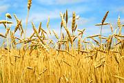 Куплю зернові. Кукурудза, пшениця, ячмінь, овес і тд Харьков