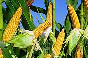 Кукуруза куплю, закупаем кукурузу. Харьков