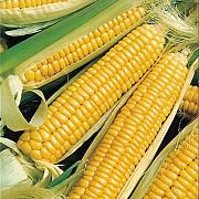 Закупаем кукурузу с любой влажностью Харьков