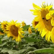 Семена подсолнечника более 300 гибридов Киев