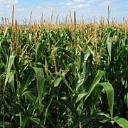 Семена Кукурузы оптом и в розницу Киев