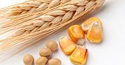 Кукурудза, фуражна пшениця, соя Киев