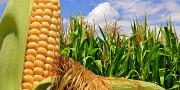 Куплю кукурузу, любые объемы Харьков
