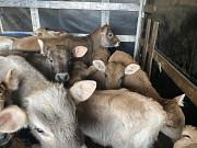 Телята мясных пород Днепр