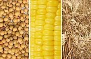 Кукуруза, пшеница, соя куплю Сумы