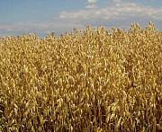 Семена овса от производителя Киев