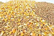 Куплю зерновые. Кукуруза, ячмень, просо Чернигов