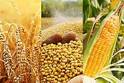 Кукурудза, пшениця, соя куплю Днепр