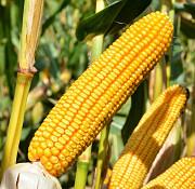 Куплю кукурузу, любая влажность, любые объемы Чернигов