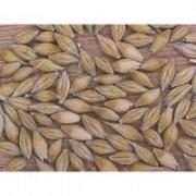 Семена ячменя от производителя Киев