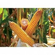 Закупівля кукурудзи, вологість будь-яка Харьков